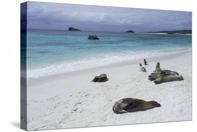 Galapagos Sea Lions on the Beach-Jad Davenport-Stretched Canvas Print