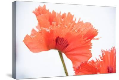 A Poppy Flower-Michael Melford-Stretched Canvas Print