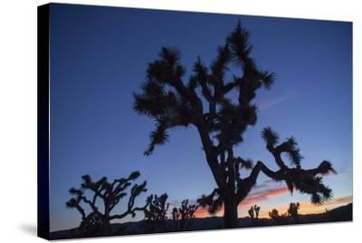 A Joshua Tree Silhouetted Against the Sunset Sky in Lost Horse Valley-Kent Kobersteen-Stretched Canvas Print