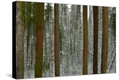 A Pine Forest in Yellowstone National Park-Raul Touzon-Stretched Canvas Print