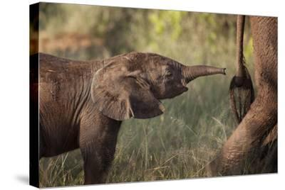 A Young Elephant Calf, Loxodonta African, Reaching Toward its Mother with its Tiny Trunk-Matthew Hood-Stretched Canvas Print