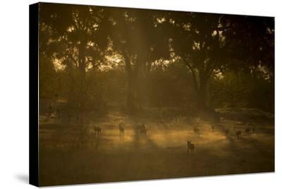 A Pack of African Wild Dogs, Lycaon Pictus, Walk and Play in the Dust at Sunset-Beverly Joubert-Stretched Canvas Print
