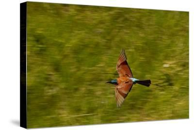 A Southern Carmine Bee-Eater, Merops Nubicoides, in Flight-Beverly Joubert-Stretched Canvas Print