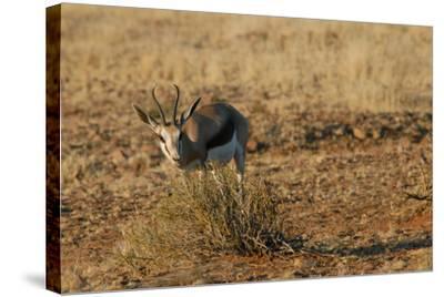 Springbok, Sossusvlei Dunes, Namibia-Anne Keiser-Stretched Canvas Print