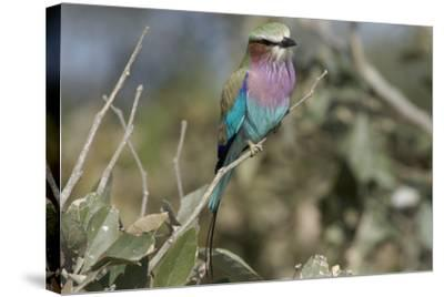 Lilac Breasted Roller, Upper Vumbura Plains, Botswana-Anne Keiser-Stretched Canvas Print