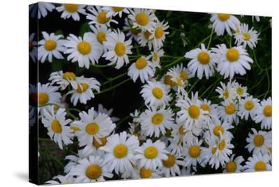 Close-Up of Daisies Blooming in Spring-Paul Damien-Stretched Canvas Print