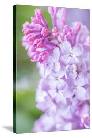 Spring Lilacs II-Romona Murdock-Stretched Canvas Print