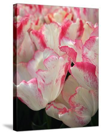 Pink Edged White Tulips-Anna Miller-Stretched Canvas Print