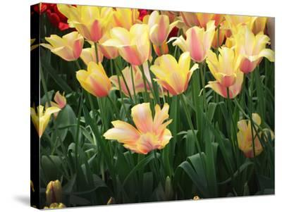 Blooming Peach and Yellow Colored Tulips-Anna Miller-Stretched Canvas Print
