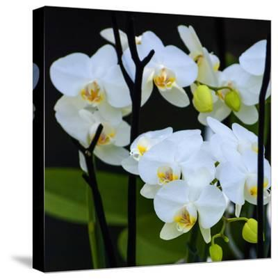 White Orchid Blooms-Anna Miller-Stretched Canvas Print