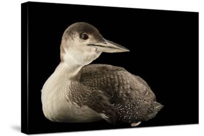 A Common Loon, Gavia Immer, at International Bird Rescue-Joel Sartore-Stretched Canvas Print