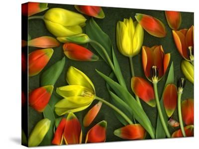 Medley of Colorful Tulips Isolated-Christian Slanec-Stretched Canvas Print
