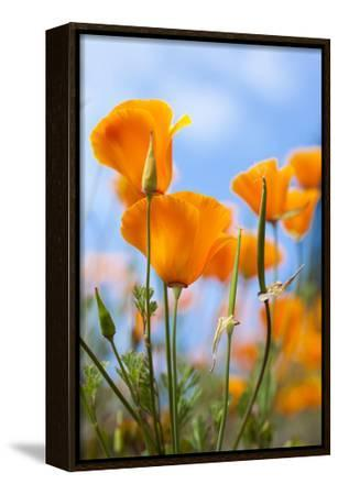 California Poppies in the Gardens of Royal Roads University-Taylor S^ Kennedy-Framed Stretched Canvas Print