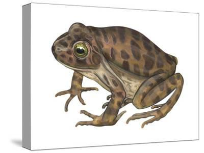 Barking Frog (Eleutherodactylus Latrans), Amphibians-Encyclopaedia Britannica-Stretched Canvas Print