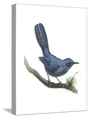 Blue Mockingbird (Melanotis Caerulescens), Birds-Encyclopaedia Britannica-Stretched Canvas Print