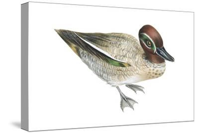 Green-Winged Teal (Anas Crecca), Duck, Birds-Encyclopaedia Britannica-Stretched Canvas Print