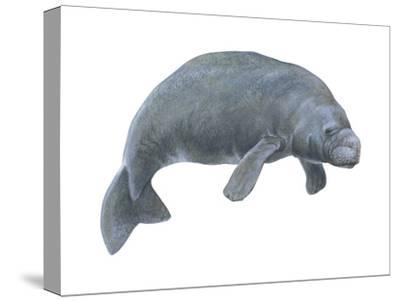 Dugong (Dugong Dugon), Mammals-Encyclopaedia Britannica-Stretched Canvas Print