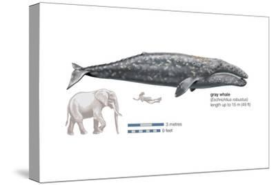 Gray Whale (Eschrichtius Robustus), Mammals-Encyclopaedia Britannica-Stretched Canvas Print