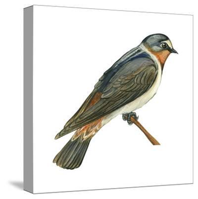 Cliff Swallow (Petrochelidon Pyrrhonota), Birds-Encyclopaedia Britannica-Stretched Canvas Print