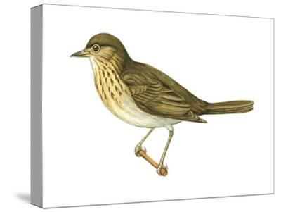 Olive-Backed Thrush (Catharus Ustulatus), Birds-Encyclopaedia Britannica-Stretched Canvas Print