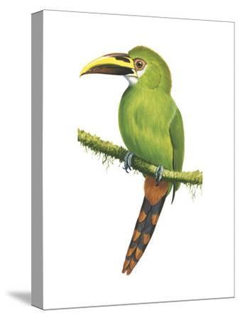 Emerald Toucanet (Aulacorhynchus Prasinus), Birds-Encyclopaedia Britannica-Stretched Canvas Print