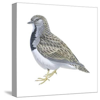 Least Seedsnipe (Thinocorus Rumicivorus), Birds-Encyclopaedia Britannica-Stretched Canvas Print