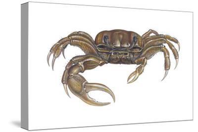 Marsh Fiddler Crab (Uca Pugnax), Crustaceans-Encyclopaedia Britannica-Stretched Canvas Print