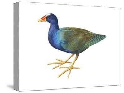 Purple Gallinule (Porphyrula Martinica), Birds-Encyclopaedia Britannica-Stretched Canvas Print