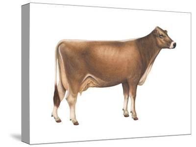 Brown Swiss Cow, Dairy Cattle, Mammals-Encyclopaedia Britannica-Stretched Canvas Print