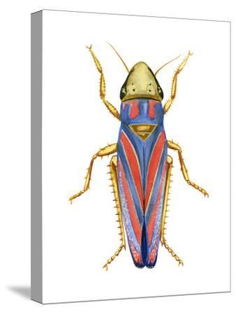 Red-Banded Leafhopper (Graphocephala Coccinea), Insects-Encyclopaedia Britannica-Stretched Canvas Print
