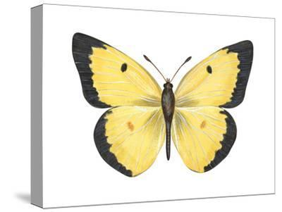 Common Sulphur Butterfly (Colias Philodice), Insects-Encyclopaedia Britannica-Stretched Canvas Print