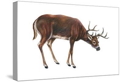 White-Tailed Deer (Odocoileus Virginianus), Mammals-Encyclopaedia Britannica-Stretched Canvas Print