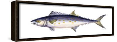 Spanish Mackerel (Scomberomorus Maculatus), Fishes-Encyclopaedia Britannica-Framed Stretched Canvas Print