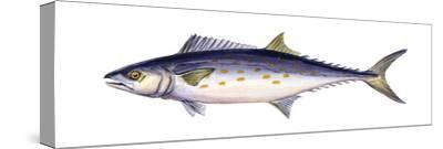 Spanish Mackerel (Scomberomorus Maculatus), Fishes-Encyclopaedia Britannica-Stretched Canvas Print
