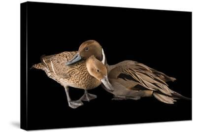 A Male and Female Northern Pintail Duck, Anas Acuta, at the Sylvan Heights Bird Park-Joel Sartore-Stretched Canvas Print