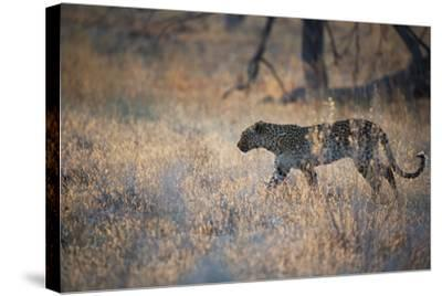 A Leopard, Panthera Pardus, Walking Through Grass in Namibia's Etosha National Park-Alex Saberi-Stretched Canvas Print