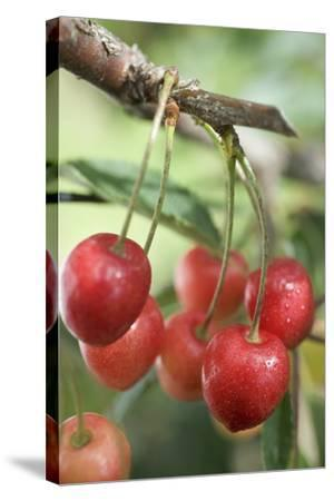 Cherries on Branch-Eising Studio - Food Photo and Video-Stretched Canvas Print
