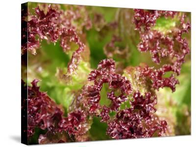 Red Leaf Lettuce (Lollo Rosso)-Foodcollection-Stretched Canvas Print