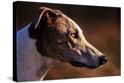 Greyhound Portrait-Adriano Bacchella-Stretched Canvas Print