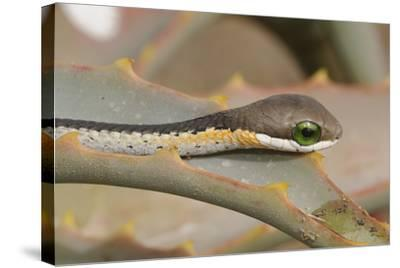 Boomslang (Dispholidus Typus) Neonate Snake On Aloe-Tony Phelps-Stretched Canvas Print