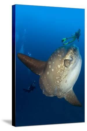 Scuba Diver With Ocean Sunfish (Mola Mola) Crystal Bay, Nusa Penida, Bali Island-Franco Banfi-Stretched Canvas Print