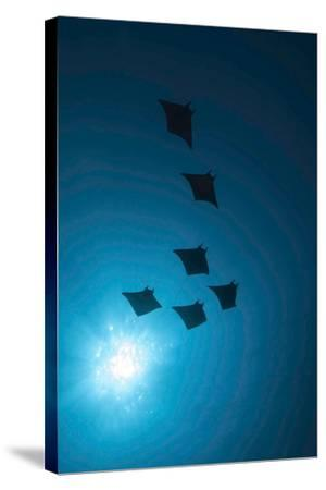 Devil Rays (Mobula Japonica) Viewed From Below, South Ari Atoll, Maldives-Michael Pitts-Stretched Canvas Print