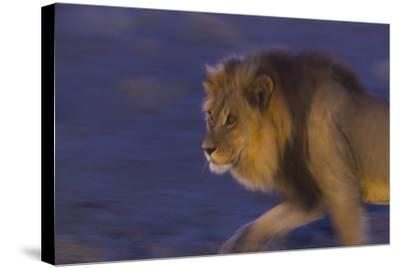 Male African Lion (Panthera Leo) At Night, Kalahari Desert, Botswana-Juan Carlos Munoz-Stretched Canvas Print