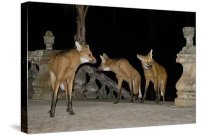 Maned Wolves (Chrysocyon Brachyurus) At Santurio Do Caraca, Where They Are Fed, At Night-Angelo Gandolfi-Stretched Canvas Print