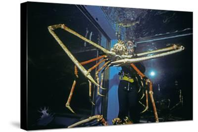 Japanese Giant Spider Crab (Macrocheira Kaempferi) World'S Largest Crustacean In Tokyo Aquarium-Jeff Rotman-Stretched Canvas Print