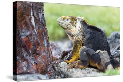 Ecuador, Galapagos Islands, Plaza Sur, Male Land Iguana-Ellen Goff-Stretched Canvas Print