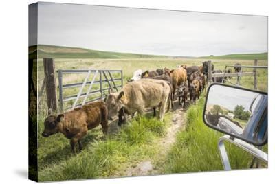 Washington State, Palouse, Whitman County. Pioneer Stock Farm, Cows at Pasture Gate-Alison Jones-Stretched Canvas Print