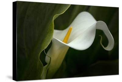 Pennsylvania. Calla Lily Close-Up-Jaynes Gallery-Stretched Canvas Print
