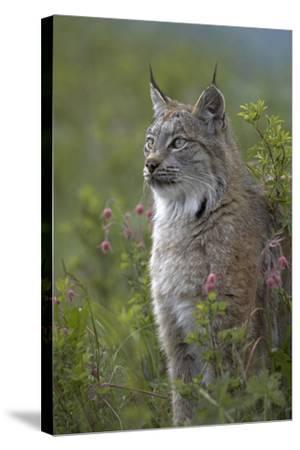 Canada Lynx Sitting Proud, Montana, Usa-Tim Fitzharris-Stretched Canvas Print
