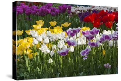 Multicolor Tulip Flowerbeds-Anna Miller-Stretched Canvas Print